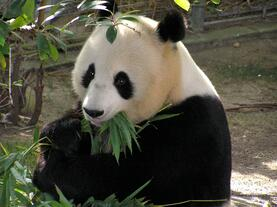 DC - Panda at Zoo